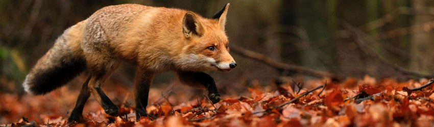 A red fox runs along some red fall leaves in a dream.