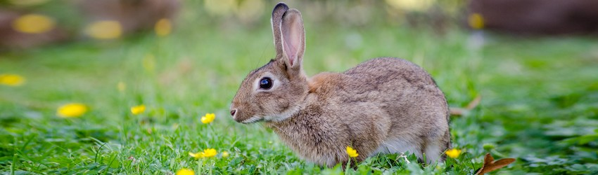 A rabbit is standing in the grass.