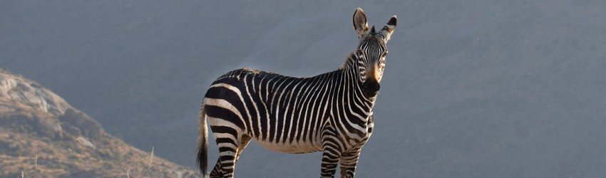 A zebra stands on a hill.